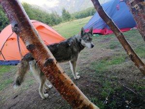 テントと狼のような犬