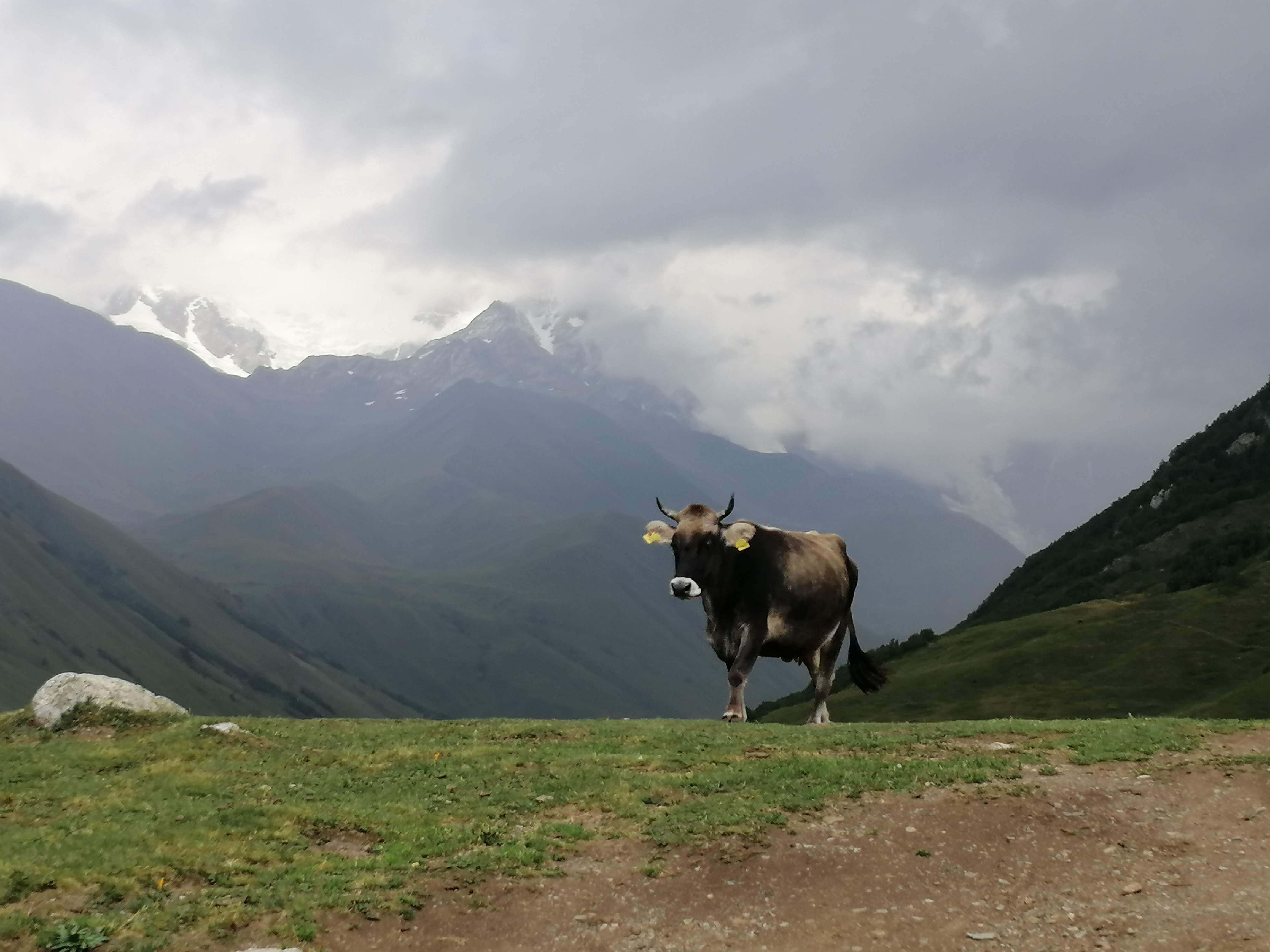 ジョージアの山々に佇む牛