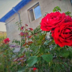 街に咲く真っ赤なバラ
