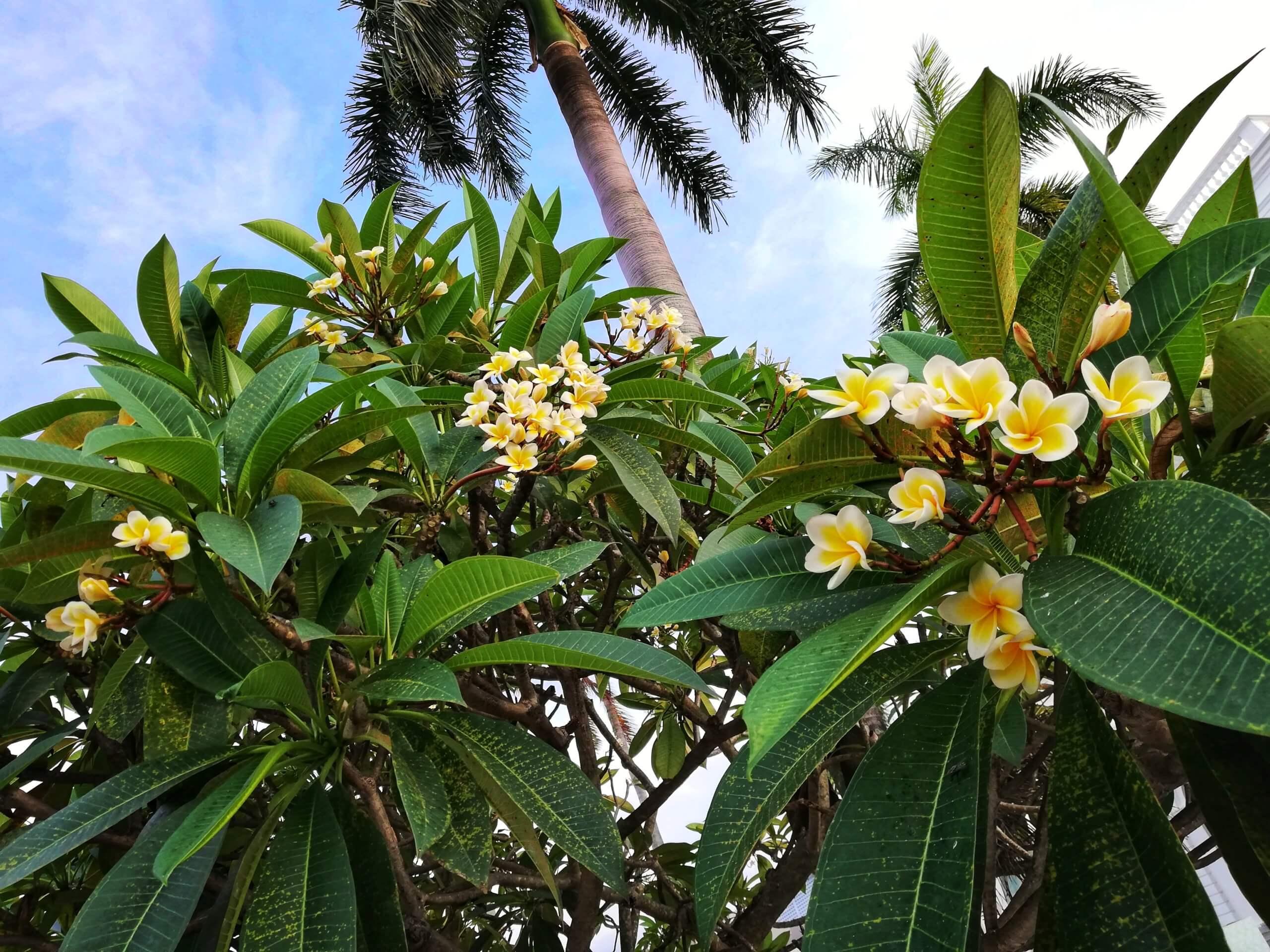 マレーシアの南国っぽいお花