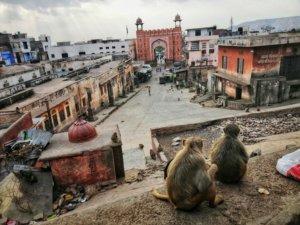 ジョードプルの街を見下ろすインドの猿