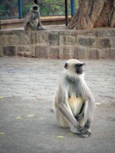 白色をした手の長い猿が体育座りをしているところ