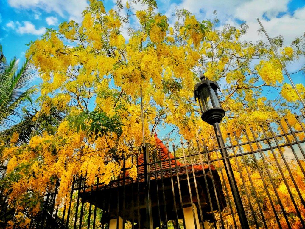 黄色が鮮やかなスリランカのイエローリリー
