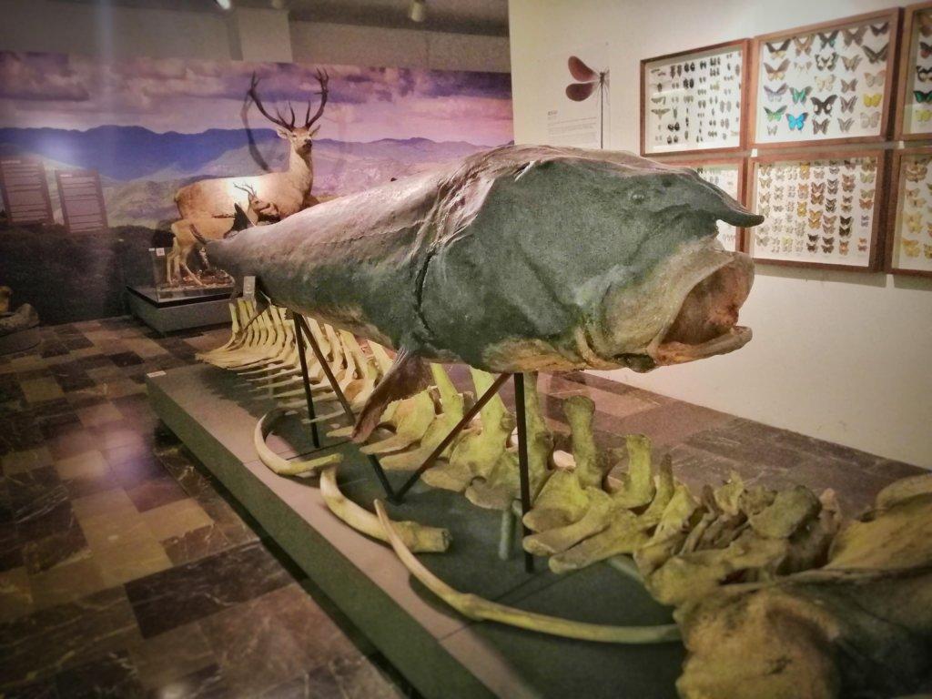ジョージアにある巨大魚の剥製