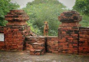 バガン遺跡に佇む犬