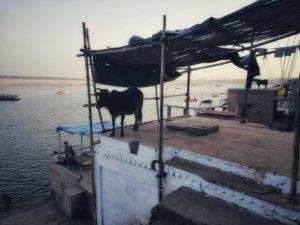 インダス川と牛