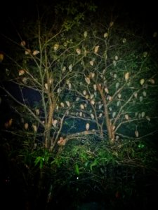 夜に木の上で眠る鳥の群れ