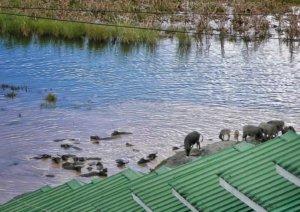 水遊びをする水牛