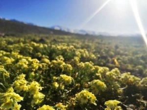 キルギスの花畑