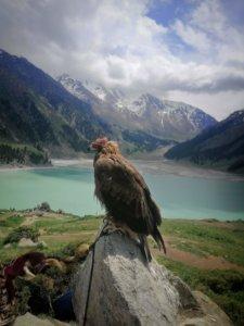 アルマティ湖の鷹