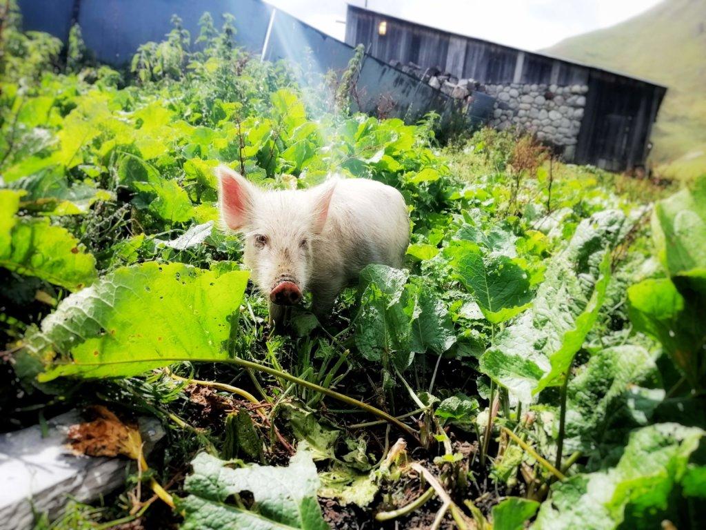 ジョージアの子豚