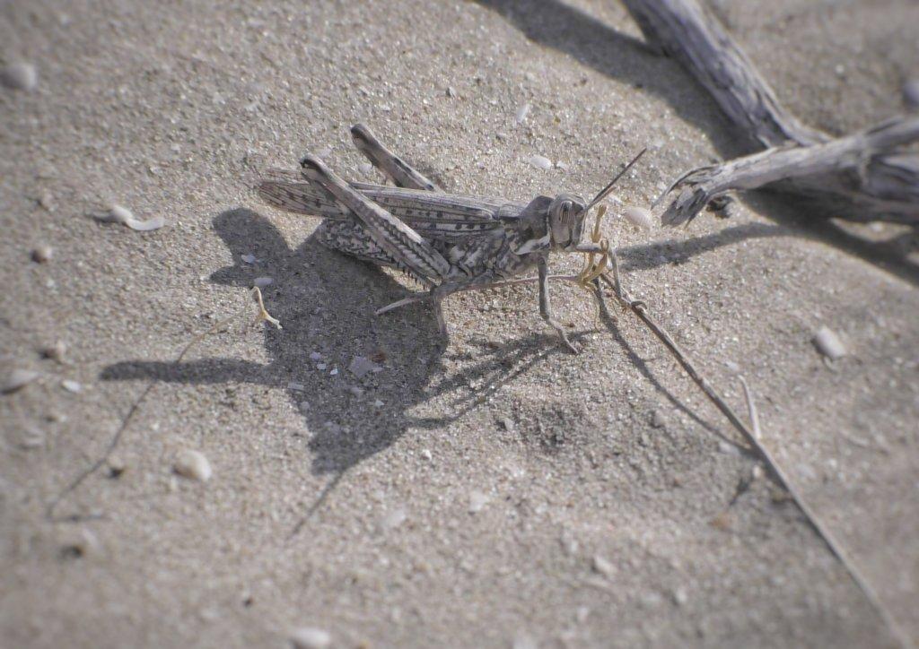 モイナクの砂漠にいるバッタ