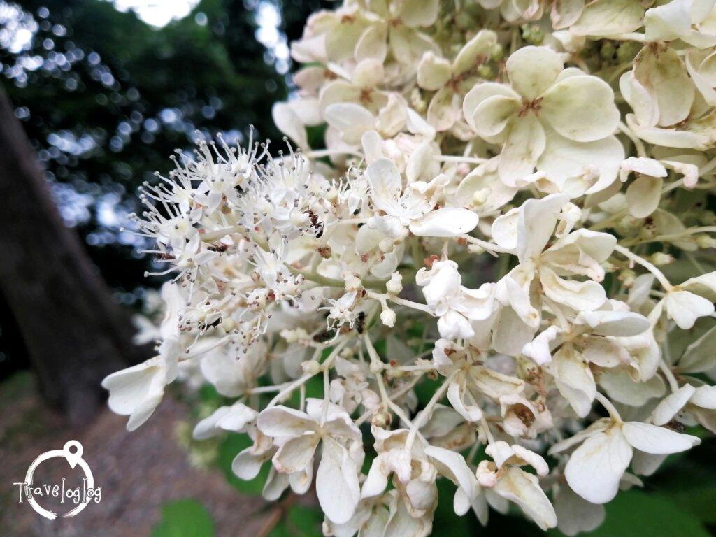 バトゥミ:植物園の白い花